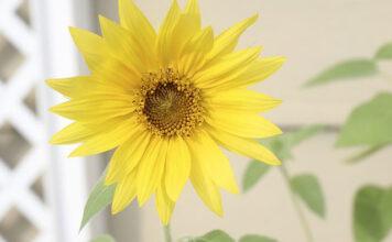Jakie są właściwości i zalety lecytyny słonecznikowej